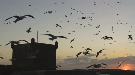 Seagulls flying in the sunset rays in Essaouira, Morocco. UHD Стоковые видеозаписи