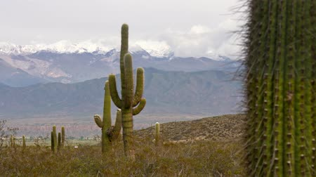 Анды : Big cactus with snowy mountains at background. Argentina, Salta, los Cardones national park. Gimbal shot, 4K Стоковые видеозаписи