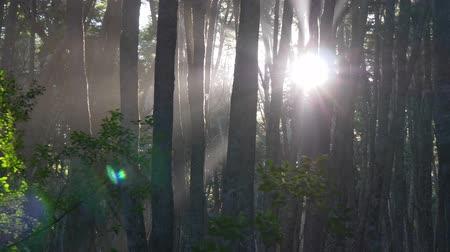 Патагония : Mistery forest. Sun rays breaking through the trees in foggy forest. Gimbal shot, 4K