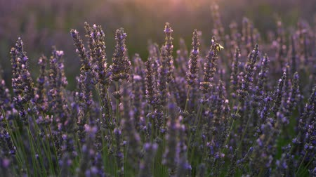 owady : Bee sitting on and flying by purple lavender flowers lit in the afternoon sun in Provence, France. UHD 4K