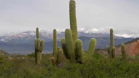 Анды : Cactus forest in los Cardones National Park near Salta, Argentina against snowy Andes mountains in the background. UHD