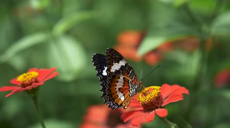 monarca : Butterfly waving with its wings and taking off the red flower. Slow motion close-up shot Stock Footage