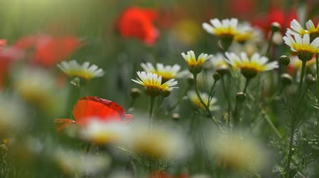 blooms : Chamomile and poppy flowers swaying on the wind. Field of summer flowers. UHD