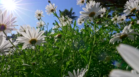 növénytan : Camera moving through the summer flowers field of white daisies. Sunny blue sky background. UHD