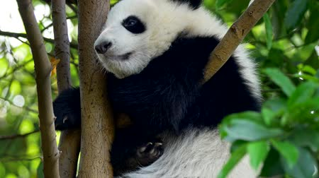 panda : Baby panda resting on the tree. A funny panda bear falling asleep sitting on a tree in the green.