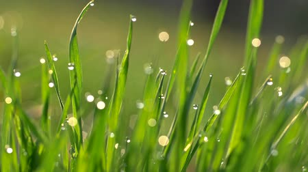 waterdrop : Camera moving through meadow with fresh green grass with water drops early in the morning