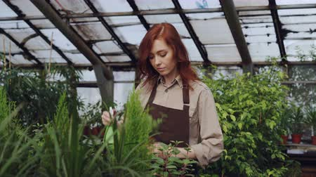 frasco pequeno : Attractive female farmer wearing apron is sprinkling plants with water while working inside large greenhouse. Profession, growing flowers, workplace and people concept.