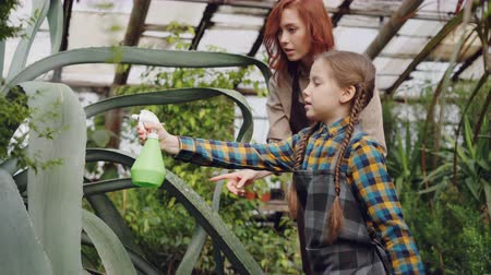 püskürtücü : Young woman professional gardener is teaching her adorable little daughter to wash leaves of large evergreen plant with spray bottle inside greenhouse. Stok Video