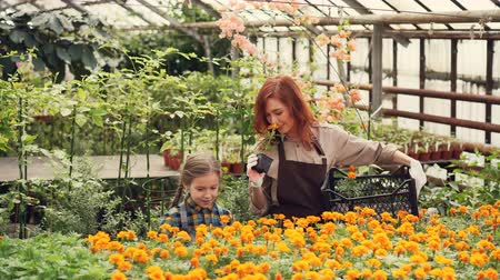 smelling : Mother and daughter are choosing flowers in greenhouse and putting them in plastic container. Spacious glasshouse, cheerful people and blooming plants are visible. Stock Footage
