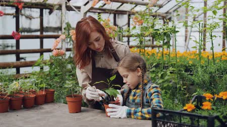 pikk : Young female farmer teaching her cute daughter to hoe soil in pot with little spade while working together in light greenhouse. Growing plants and childhood concept.