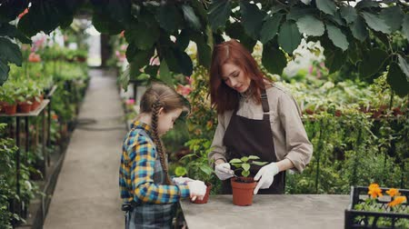 pikk : Serious child is helping her mother in greenhouse stirring soil in pot caring for green plants and talking to her parent. Large hothouse with flowers is visible.