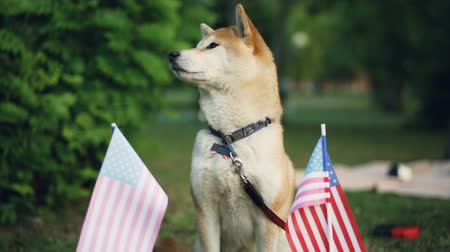 safkan : Slow motion portrait of beautiful shiba inu dog winner of puppy competition standing in the park with American flags flying near him. Pets and countries concept. Stok Video