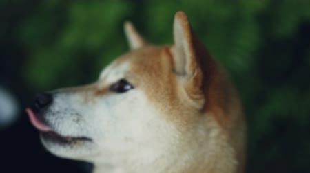loajální : Close-up slow motion portrait of adorable dog shiba inu looking at camera and licking its mouth and nose with pink tongue. Animals and nature concept.