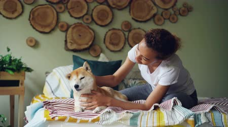 patting : Attractive African American girl is stroking cute shiba inu dog lying on bed at home in beautifully decorated bedroom. Animals, people and interior concept.