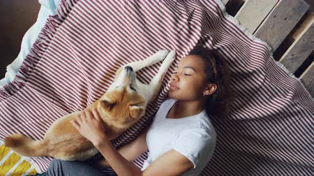 patting : Top view of attractive African American woman stroking beautiful shiba inu dog lying on bed together at home. Young people, domestic animals, happiness and love concept. Stock Footage