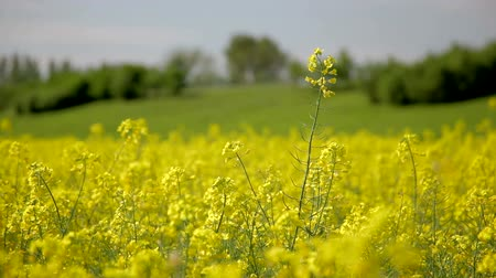 blue and yellow : canola field oilseed