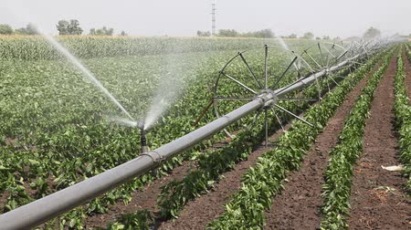 irrigação : Green paprika field with irrigation system wheal