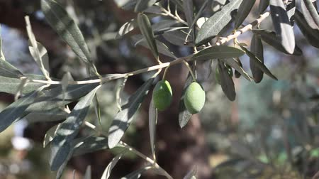 francja : Olives at tree branch, Mediterranean countries Wideo