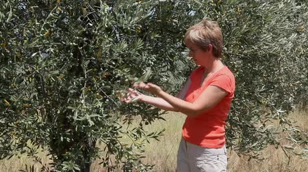oliwki : Agricultural expert inspecting quality of olives Wideo