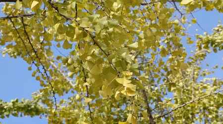 ginkgo leaf : Autumn, leaves of the ginkgo tree in fall