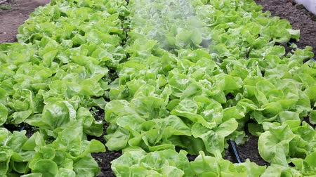 marul : Watering of fresh lettuce in a greenhouse
