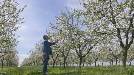 pomar : Agronomist or farmer examine blooming cherry trees in orchard