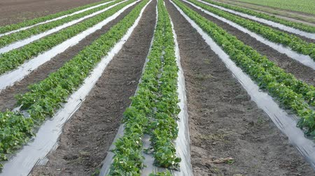 plastics : Strawberry plants with  plastic protecting strips in field, HD video