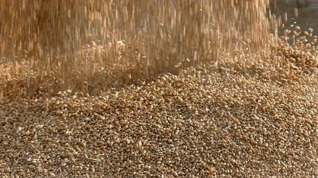pszenica : Wheat harvest, closeup of crop pouring, slow motion HD footage
