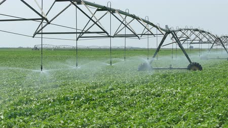 sojový : Soybean field with Irrigation system for water supply, 4K footage
