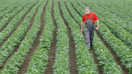 agronomie : Farmer walking and inspect quality of soybean plant in field using tablet, zoom out footage