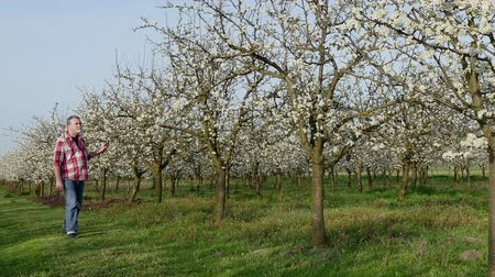 pomar : Agronomist or farmer examine blooming plum trees in orchard Vídeos