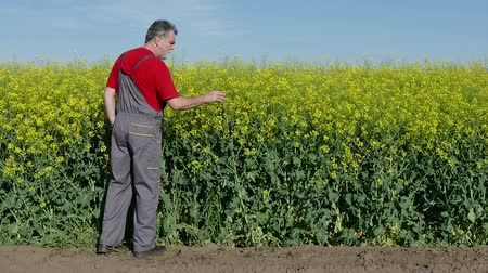 rolnik : Agronomist or farmer examine blooming canola field, using tablet