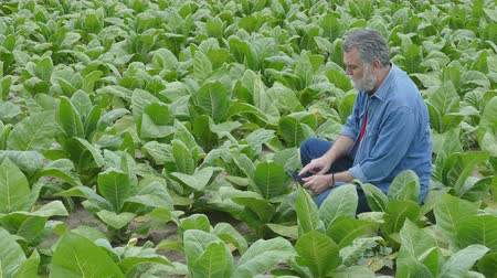 çiftçi : Farmer examine tobacco plant in field using tablet, 4K footage