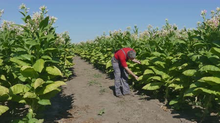 никотин : Farmer or agronomist examine blossoming tobacco plant in field, 4K footage