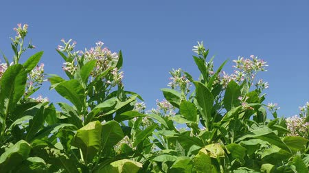 plantio : Blossoming tobacco plant field in summer, zoom in HD  footage