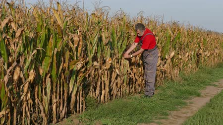 rolnik : Agriculture, farmer or agronomist examine corn plant in field, harvest time