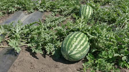 melão : Watermelon fruit plant in field ready for harvest, zoom out footage early summer