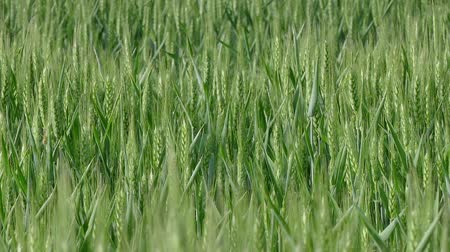 peyzajlı : Green wheat plant in field, late spring, panning HD footage
