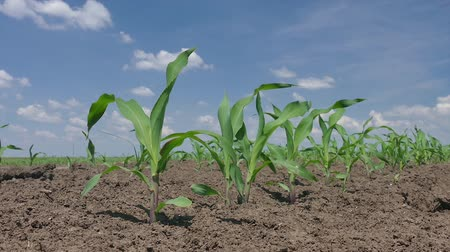 seeding : Young corn plant in field spring time zoom in HD footage Stock Footage