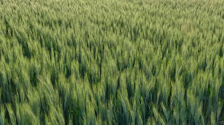 peyzajlı : Green wheat plant in field, late spring panning and zoom out HD footage