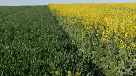 plantação : Oil rape, blossoming canola and wheat plants in field, zoom out video, with blue sky in early spring