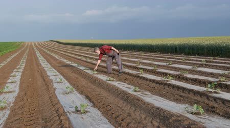 melão : Farmer examining watermelon and melon plant under protective plastic stripes in field