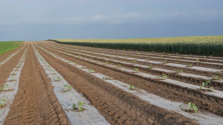 melão : Field of watermelon or melon plants under protective plastic stripes