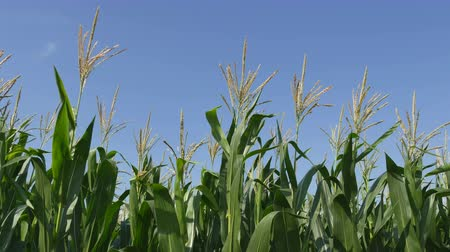 püskül : Green corn plant in early summer, closeup of tassel and leafs over blue sky Stok Video