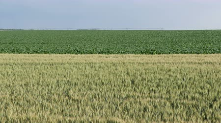monoculture : Green wheat and corn plants in field with watering system in background, late spring