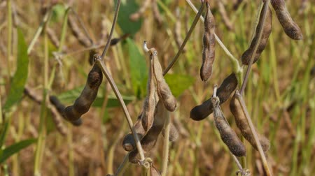 soya : Closeup of soy bean plant in field, crop is ready for harvest