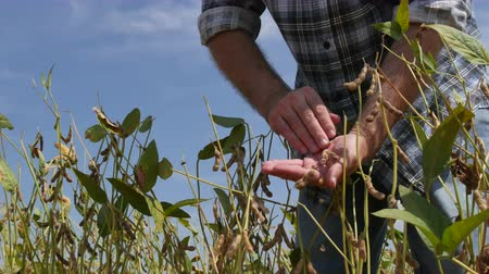 soy : Farmer or agronomist examining soybean plants field in late summer. Stock Footage