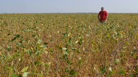 соя : Farmer or agronomist examining soybean plants field and crop in late summer