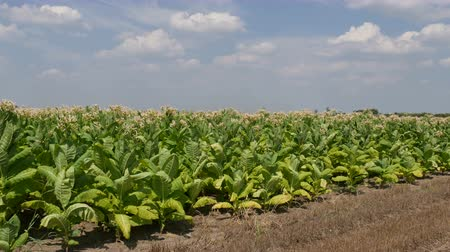 Виргиния : Blossoming tobacco plants in field with sky and clouds, late summer