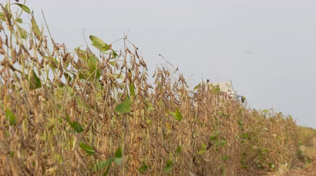 soya : Soy bean plants in field with combine harvesting crop in background, selective focus on plants Stock Footage